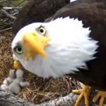 american-bald-eagle-great-vision-no-brains